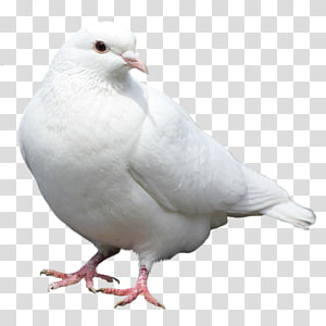 Columbidae dove Bird Domestic pigeon, Bird PNG