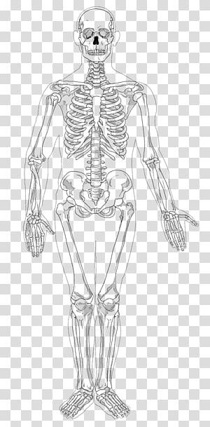 Human skeleton Appendicular skeleton The Skeletal System , Skeleton PNG
