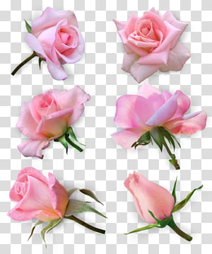 Garden roses Cabbage rose Floribunda Cut flowers, flower PNG