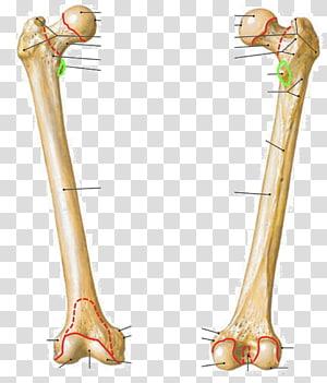 Atlas der Anatomie des Menschen Femur Trochanteric fossa Anatomy Human body, others PNG