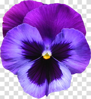 Sweet violet Flower Purple , Large Purple Violet Flower , purple flower PNG