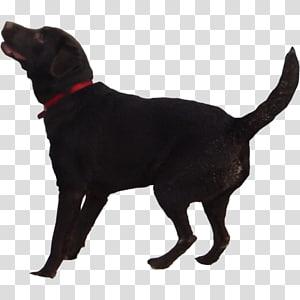 Labrador Retriever Puppy Flat-Coated Retriever Golden Retriever, black dog PNG