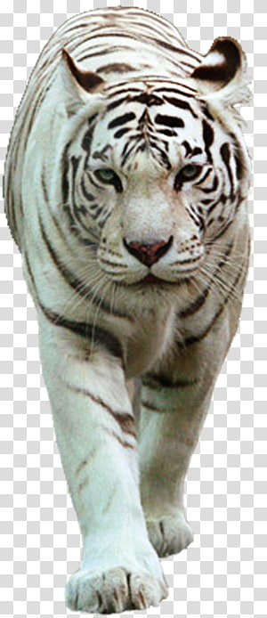 Felidae Cat White tiger Lion, Cat PNG