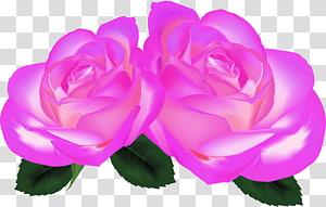Garden roses Cabbage rose China rose Floribunda Petal, Lilac rose PNG clipart
