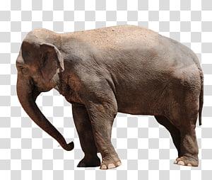 African bush elephant Asian elephant Baby Elephants African forest elephant, Elephant PNG