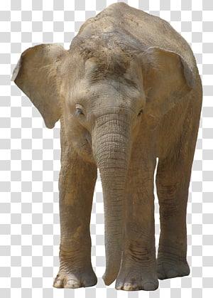 Indian elephant African bush elephant, Elephant PNG