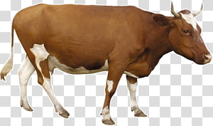 brown cow PNG clipart