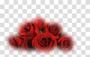 Garden roses Cut flowers Petal, fleure PNG
