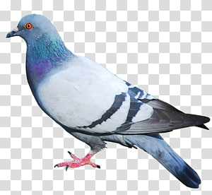 Columbidae Domestic pigeon Squab , others PNG clipart