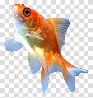 Comet Ryukin Ranchu Koi Fish, fish PNG clipart