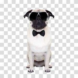 short-coated white dog wearing sunglasses, Puggle Sunglasses Puppy, Dog wearing sunglasses PNG