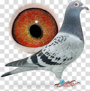 Racing Homer Homing pigeon Bird Columbidae Breed, pigeon dangling ring PNG clipart