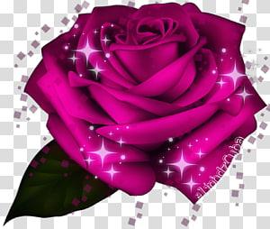 Garden roses Cabbage rose Floribunda Petal, picsart rose PNG
