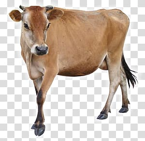 Cow PNG clipart