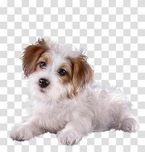 Cavachon Puppy Morkie Sporting Lucas Terrier Cavapoo, chien PNG