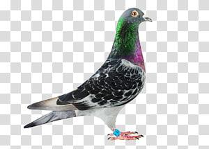 Columbidae Homing pigeon Rock dove Pigeon racing Belgium, others PNG clipart