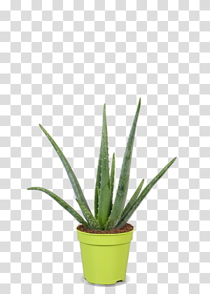 Agave azul Agave nectar Grasses Flowerpot Plant stem, aloe vera plant PNG clipart