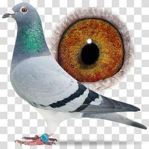 Columbidae Domestic pigeon Pigeon racing Bird Breed, Bird PNG clipart