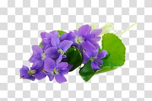Sweet violet African violets Parma violet , others PNG