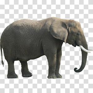 gray elephant, Indian elephant African forest elephant, Elephant PNG