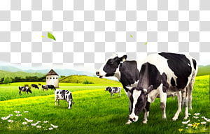 Dairy cattle, Cow pasture, black-and-white dairy cows PNG