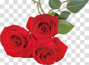 Garden roses Beach rose Centifolia roses Red Flower, Rose PNG clipart