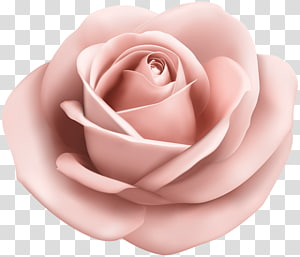 Rose , soft PNG clipart