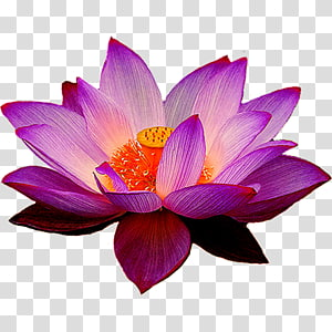 Nelumbo nucifera Egyptian lotus Flower Lotus Yoga Fit, water lilies combination PNG