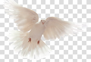 Columbidae Doves as symbols Holy Spirit Peace God, others PNG