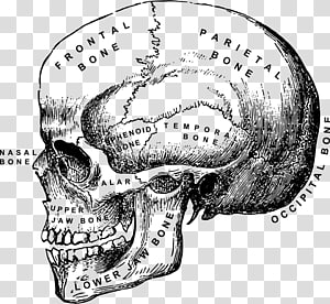 Human anatomy Human body Skull Head and neck anatomy, skull PNG