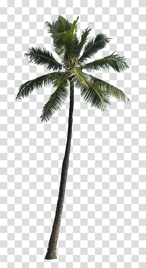 Arecaceae Tree , palm tree PNG clipart