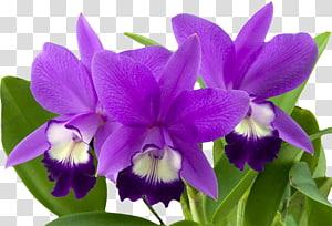 Orchids Flower Cymbidium ensifolium, violet PNG