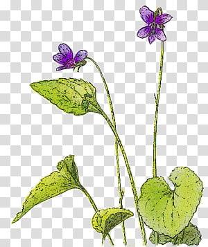 Violet , Violet PNG clipart