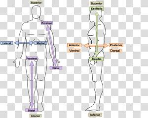 Hand Homo sapiens Human Anatomy & Physiology Human body, hand PNG