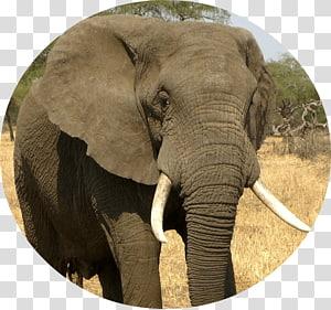 African bush elephant Asian elephant Rhinoceros, elephant PNG
