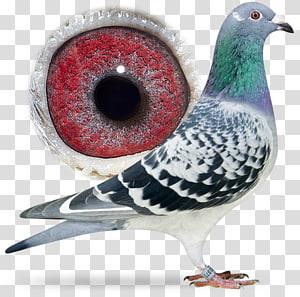 Columbidae Pigeon racing Typical pigeons Aaldering Pigeons, Sangers Pigeons Bv PNG clipart