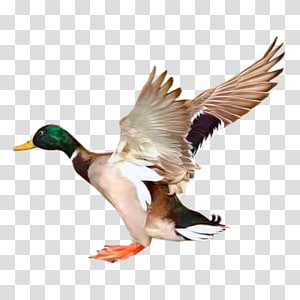 Mallard Goose Duck Bird Redhead, goose PNG