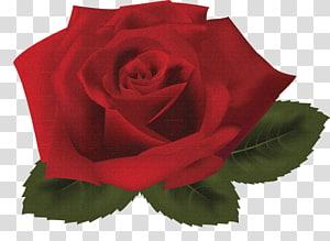 Rose , rose PNG clipart