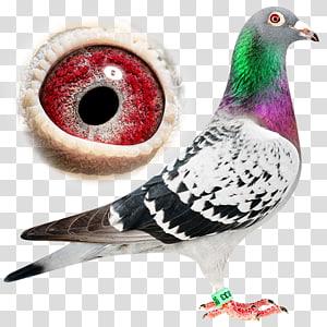 Homing pigeon Racing Homer Ice pigeon Fancy pigeon Breed, racing pigeon PNG