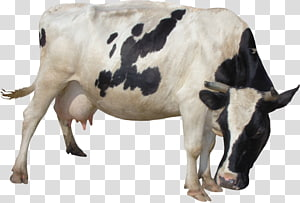 Taurine cattle Milk Lossless compression , milk PNG
