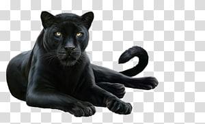Felidae Leopard .de Information .co, leopard PNG