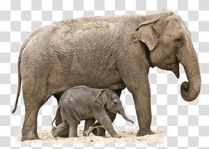 African bush elephant Asian elephant African forest elephant, elephant drawing PNG