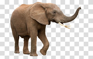brown elephant art, African bush elephant Asian elephant African forest elephant , elephants PNG