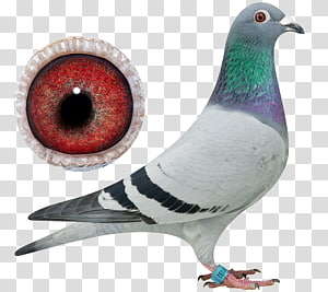 Pigeons and doves Homing pigeon Bird Pigeon racing Typical pigeons, bird PNG clipart