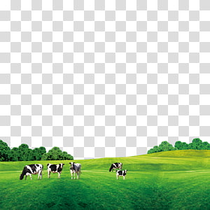 five white and black cattles on green grass field under blue sky at daytime, Cattle Cow\'s milk, Grass on the cow PNG