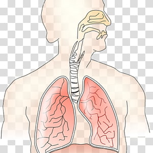body illustration, Respiratory system Breathing Exhalation Lung Inhalation, lungs PNG clipart