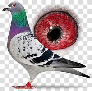 Columbidae Homing pigeon Racing Homer Bird Beak, Bird PNG clipart