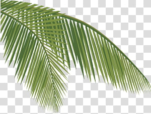 Arecaceae Coconut Leaf , coconut PNG