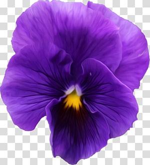 Pansy Violet , violet PNG clipart