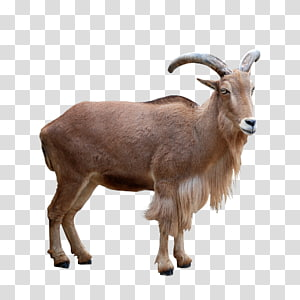 brown horned animal, Barbari goat Barbary sheep Mouflon Deer, goat PNG